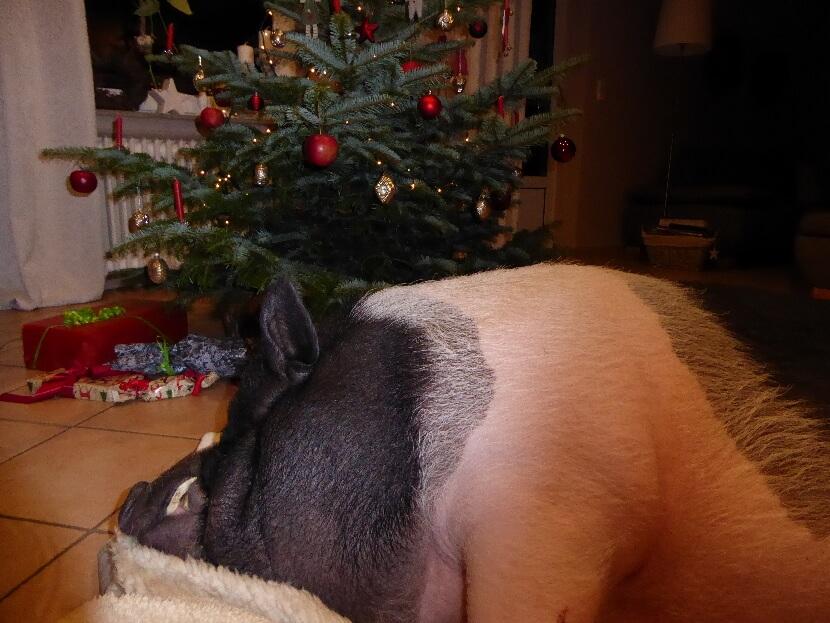 """Rückblick mit """"Mini""""schwein Fred unterm Weihnachtsbaum"""